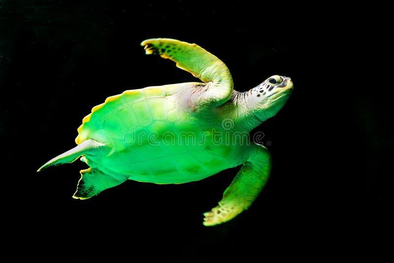Simning för sköldpadda för grönt hav i ett museumakvarium royaltyfri bild