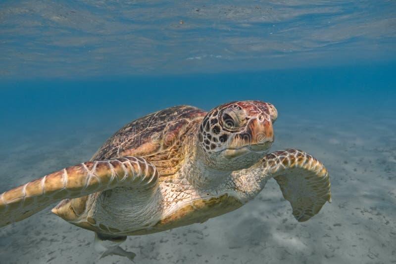 Simning för sköldpadda för grönt hav i det tropiska havsslutet upp arkivfoto