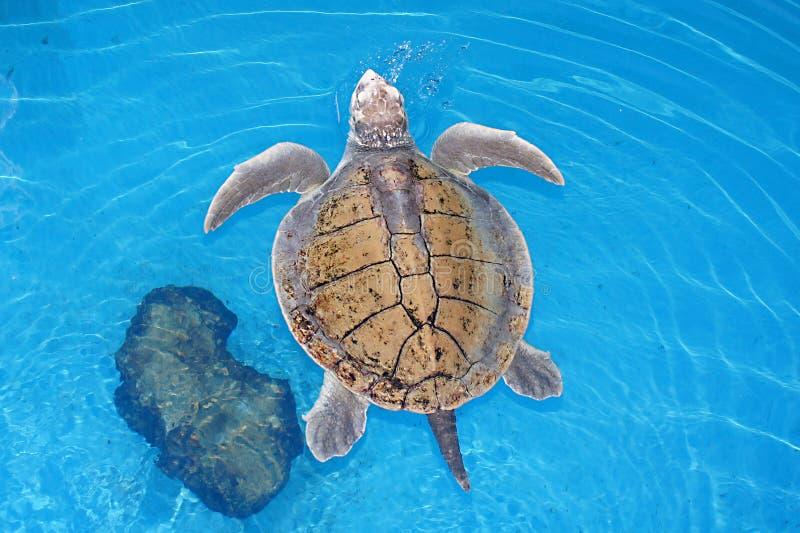 Simning för sköldpadda för grönt hav ovanför - vatten arkivbild