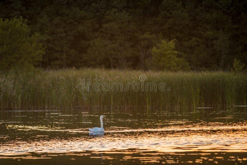 Simning för stum svan i sjön bara arkivfoton