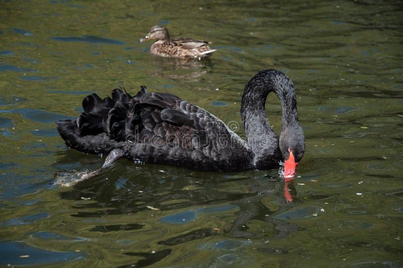 Simning för svart svan i vatten arkivbilder