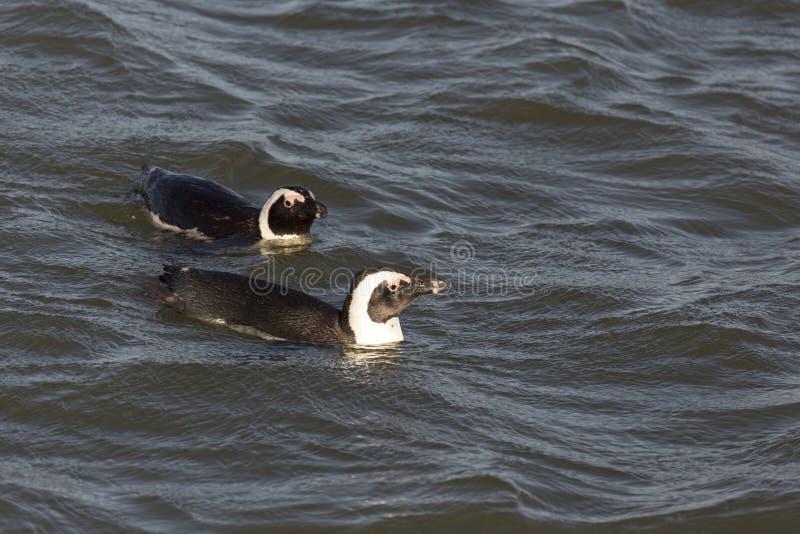 Simning för två pingvin i Namibia royaltyfria foton