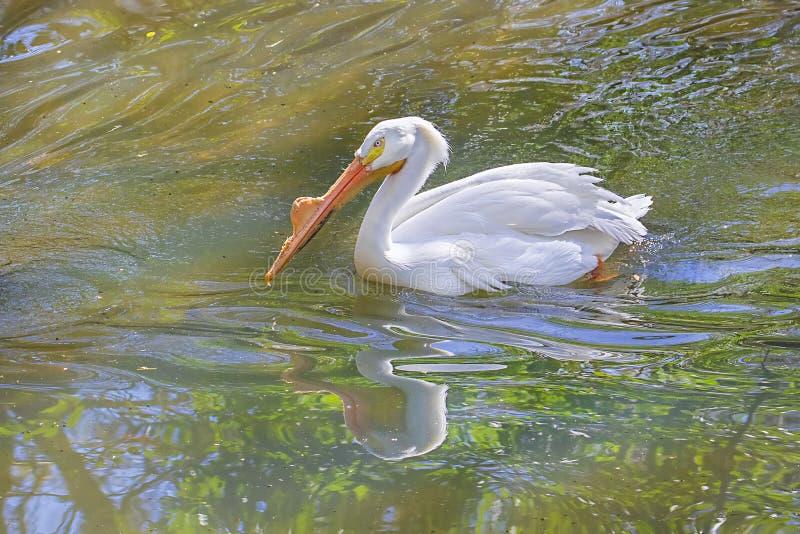 Simning för vit pelikan i ett damm arkivbild