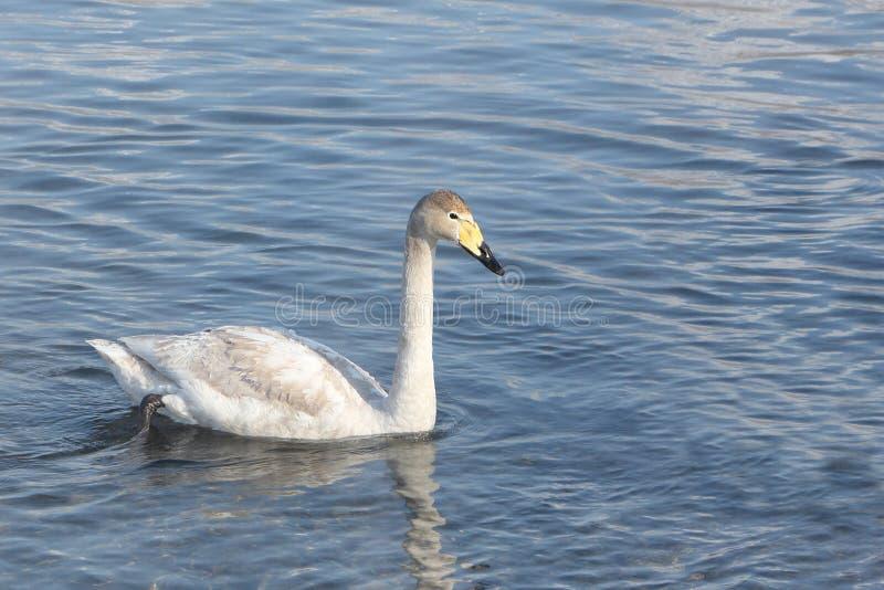 Simning för Whoopersvan i sjön royaltyfria foton