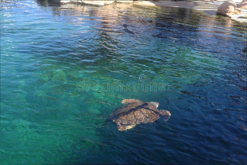 Simning f?r havssk?ldpadda i havet royaltyfria foton
