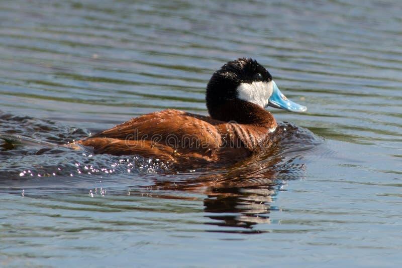 Simning Ruddy Duck royaltyfri foto