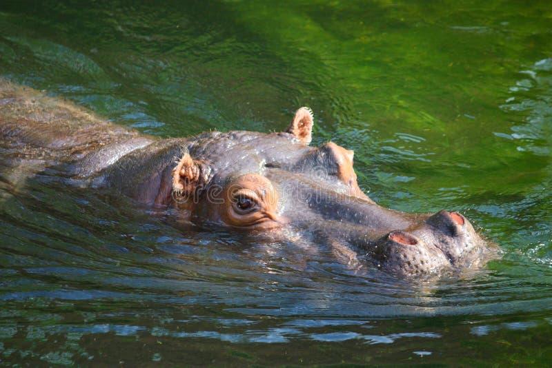 Simningflodhäst royaltyfri foto