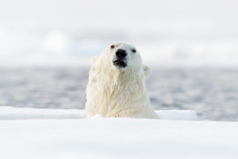 Simningisbjörnar, huvud över - bevattna yttersida Isbjörn med drivais med snö Farligt djur från Svalbard, Norge Actio arkivbilder