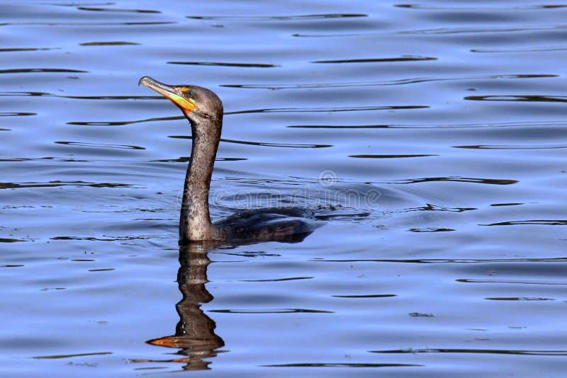 Simningkormoran fotografering för bildbyråer