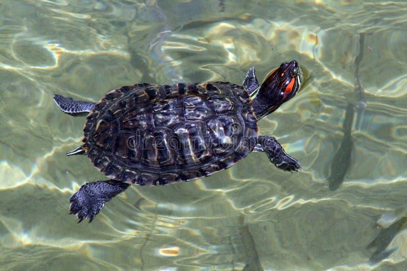 simningsköldpadda royaltyfri foto