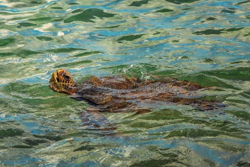 simningsköldpadda för grönt hav fotografering för bildbyråer