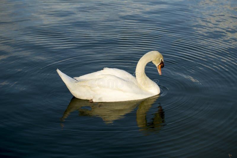 Simningsvan fotografering för bildbyråer
