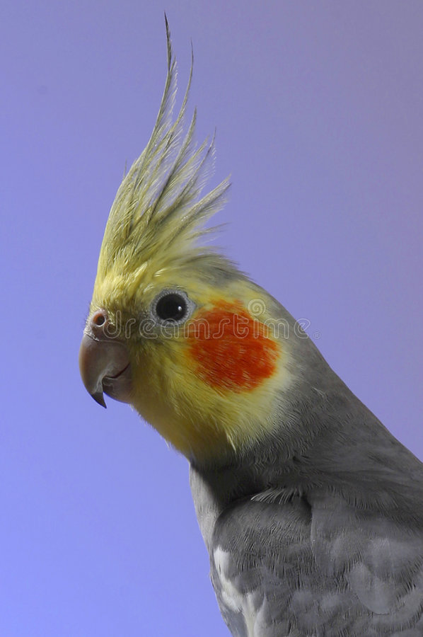Simon le cockatiel photos stock