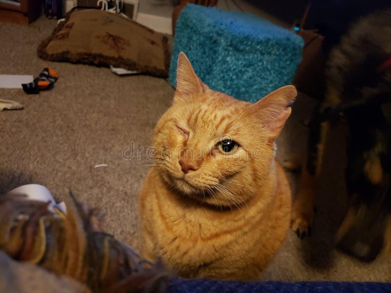 Simon. Winking, Garfield, orange cat, cat stock image
