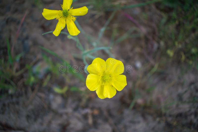 A simple background of the two small yellow flowers. The natural spring part royalty free stock image