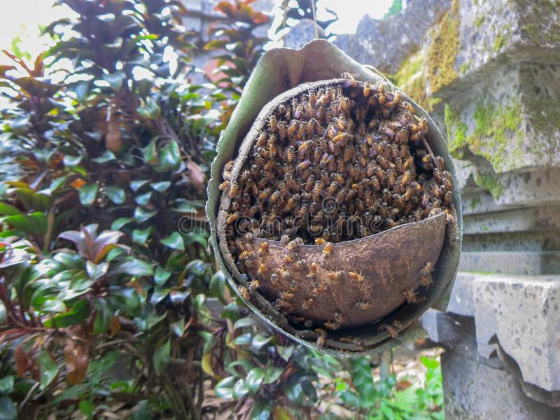 A simple bee hive made of bamboo trunk and coconut. The bees crawl into the hive with holes in the coconut. Tropical garden stock photos