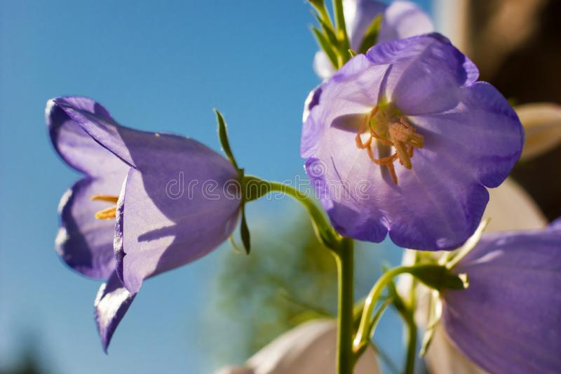 Simple composition of bluebell flowers - symbol of honesty. On blurry natural background stock photography