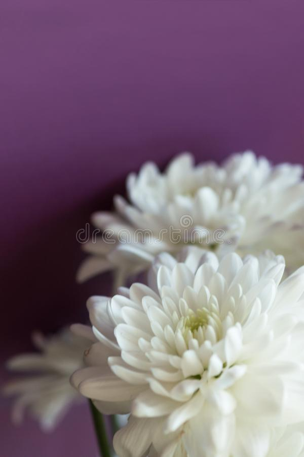 Simple elegant bouquet of delicate tender white chrysanthemum daisy flowers on purple wall background. Wedding engagement romantic royalty free stock photos