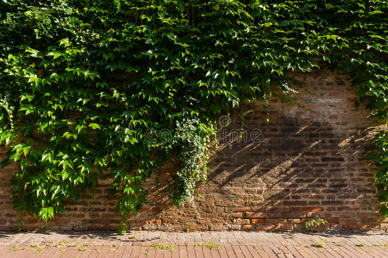 Simple Ivy Vine Growth Facing Brick Wall. Simple Ivy Vine Growth Facing Rustic Brick Wall stock image