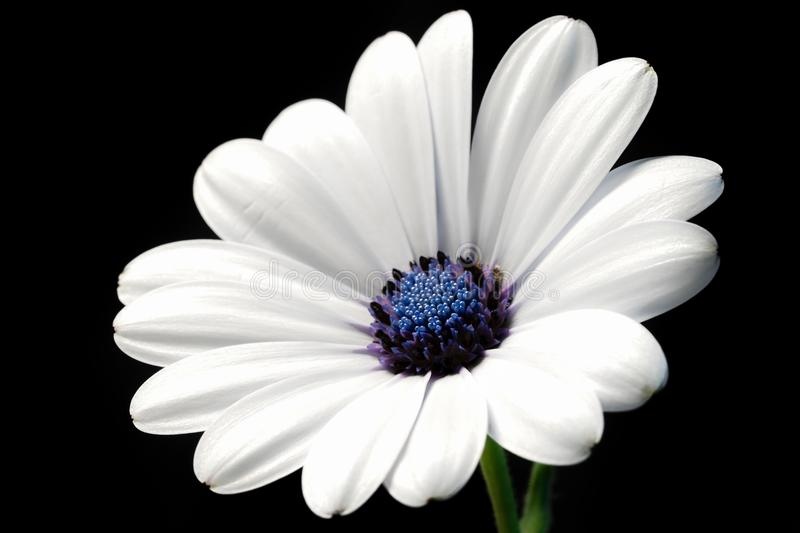 Simple light clean white flower black background stock photo image download simple light clean white flower black background stock photo image of clean detail mightylinksfo