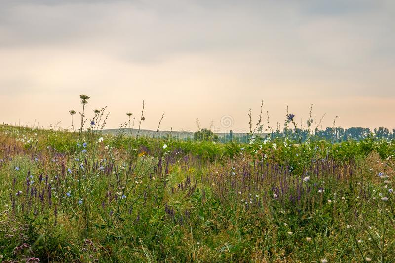 Simple Meadow With Green Grasses and purple Flowers. On a cloudy day royalty free stock photos