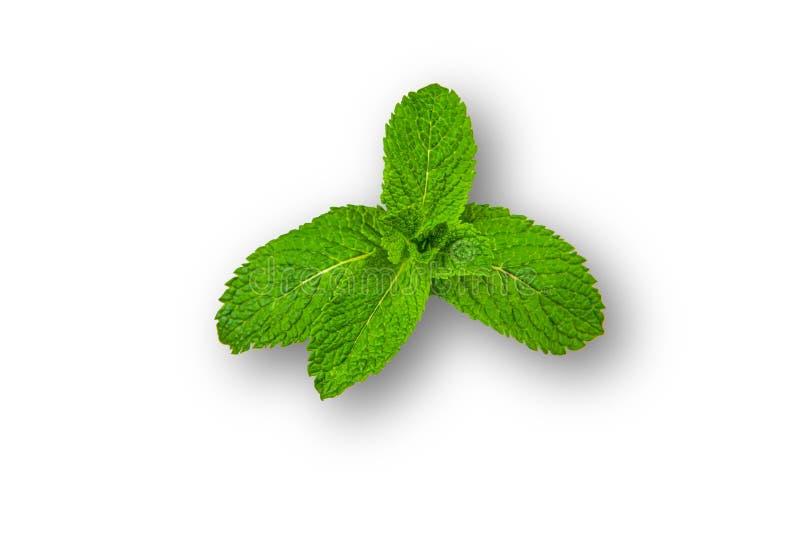Simple mint leaf shot on wood background. Simple mint leaf with copy space. Simple mint leaf shot on wood background. Simple mint leaf on white background stock images