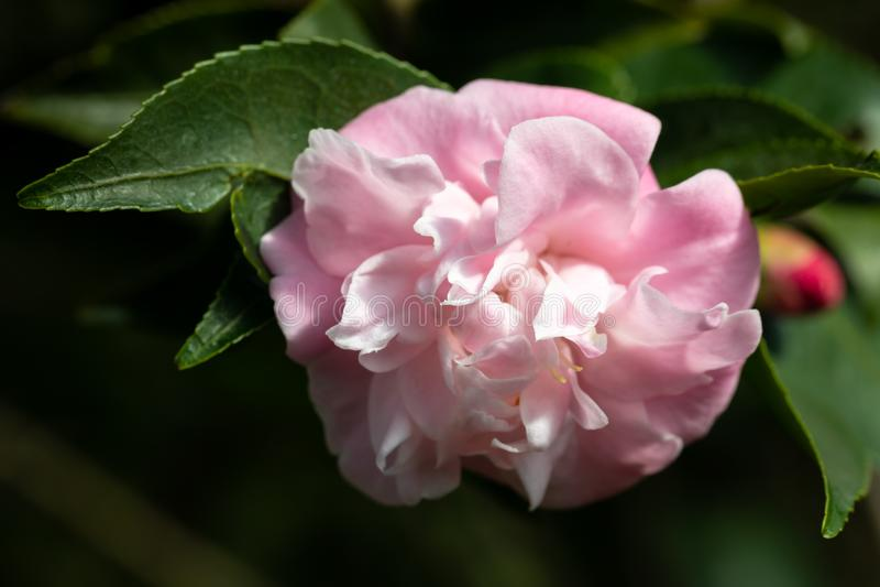 """Simple pâlissez - la fleur rose de camélia """"de Jane douce """"de camélia photographie stock"""