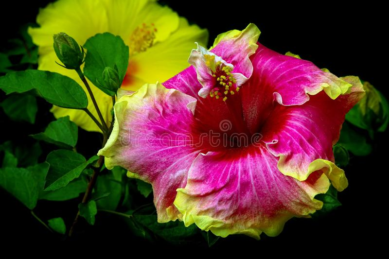 Simple pleasures - a special and beautiful species of hibscus flowers. royalty free stock images