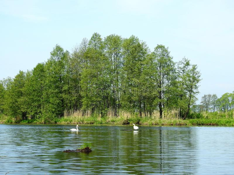 River, swans and beautiful trees, Lithuania stock photos