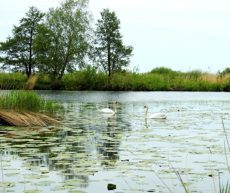 River, swans and beautiful trees, Lithuania royalty free stock photos