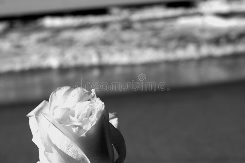 A simple white rose in black and white is just as beautiful stock photos
