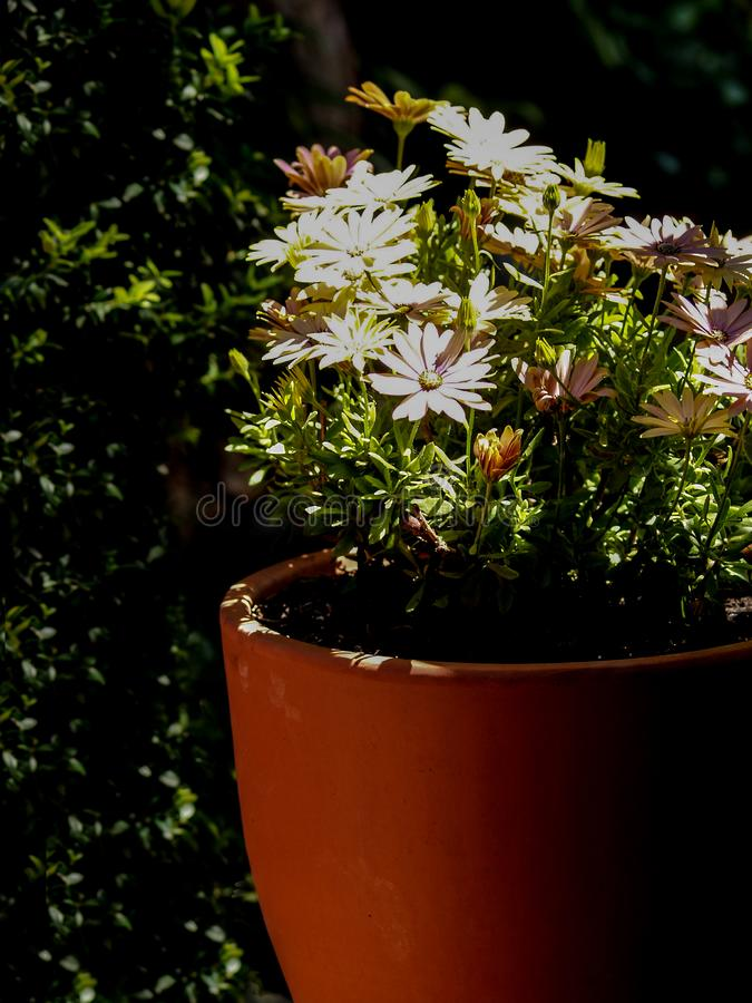 Simplement marguerites dans le jardin vert photographie stock libre de droits