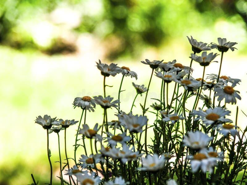 Simplement marguerites dans le jardin vert photographie stock