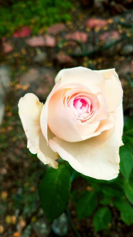 Simplesmente rosa fotografia de stock