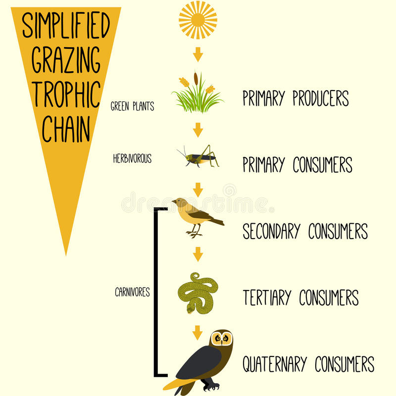 Simplified grazing trophic chain. Vector royalty free illustration