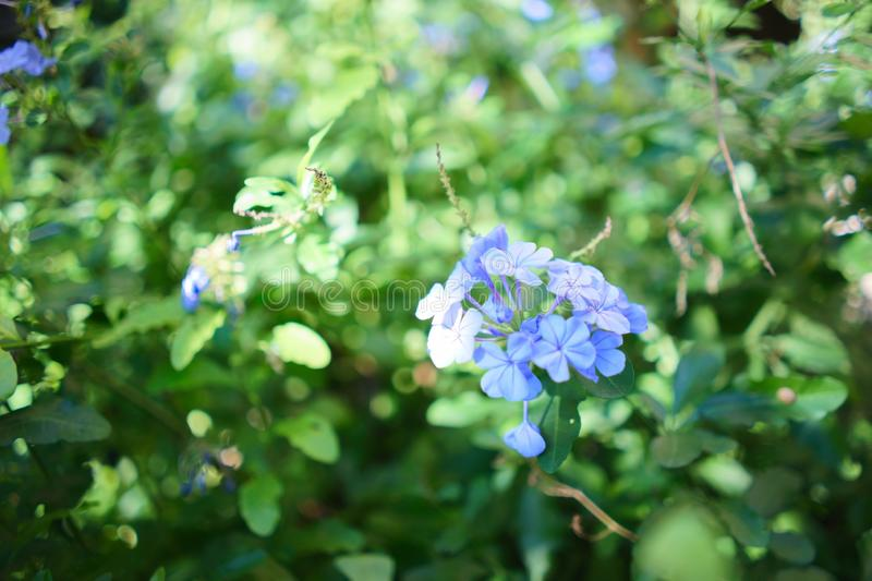 Simply blue. A delicate blue flower against a green background of leaves stock image