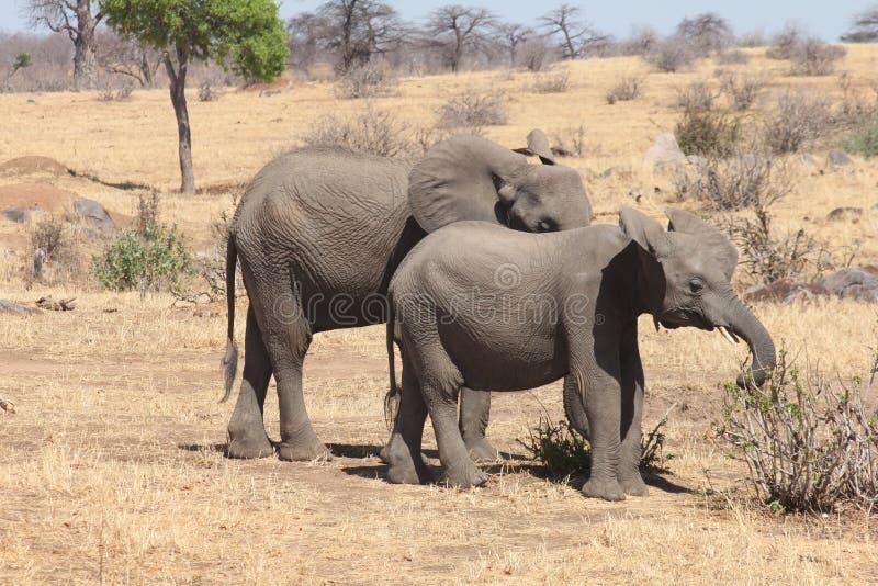 Simply Elephants royalty free stock photography