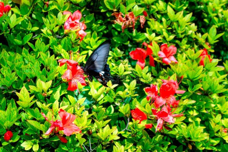 Simsii de oro Planch del miel-rododendro del frunce de la mariposa de Phoenix imagenes de archivo