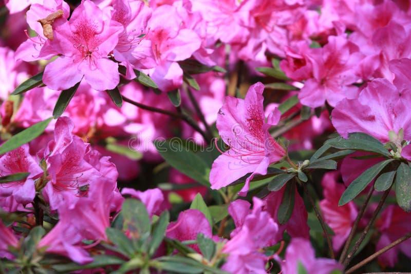 Simsii Planch de ˆRhododendron de ¼ de Rhododendronï ?? de ? de ?? photos stock