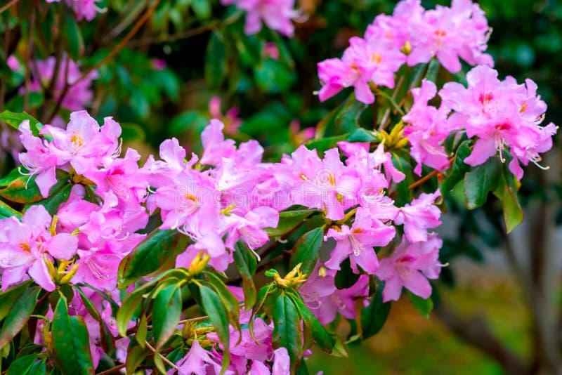 Simsii Planch de rhododendron photos stock