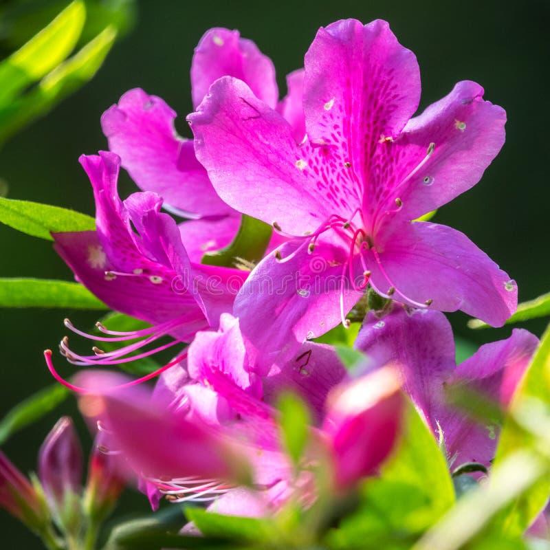Simsii Planch de rhododendron images libres de droits
