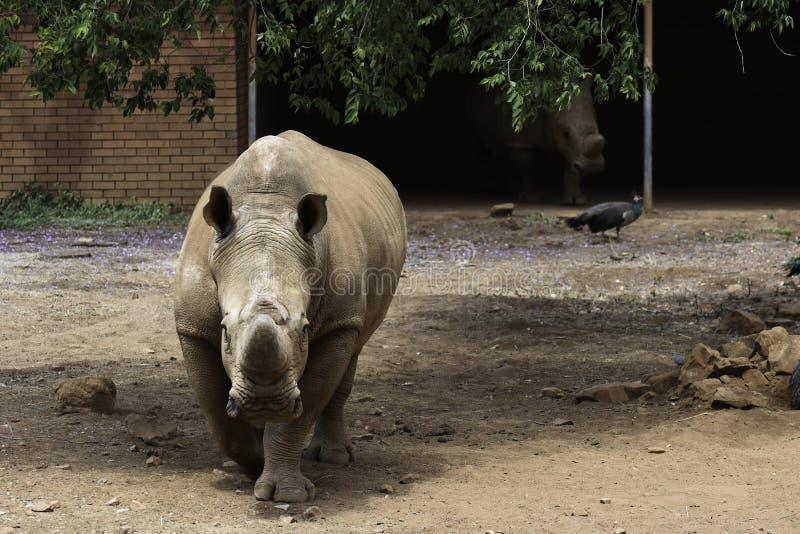Simum blanc mis en danger de ceratotherium de paires de rhinocéros en captivité images stock