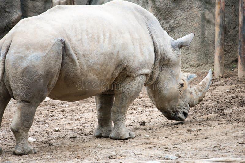 Simum meridional del simum del Ceratotherium del rinoceronte blanco en el parque zoológico de Philadelphia imagen de archivo libre de regalías
