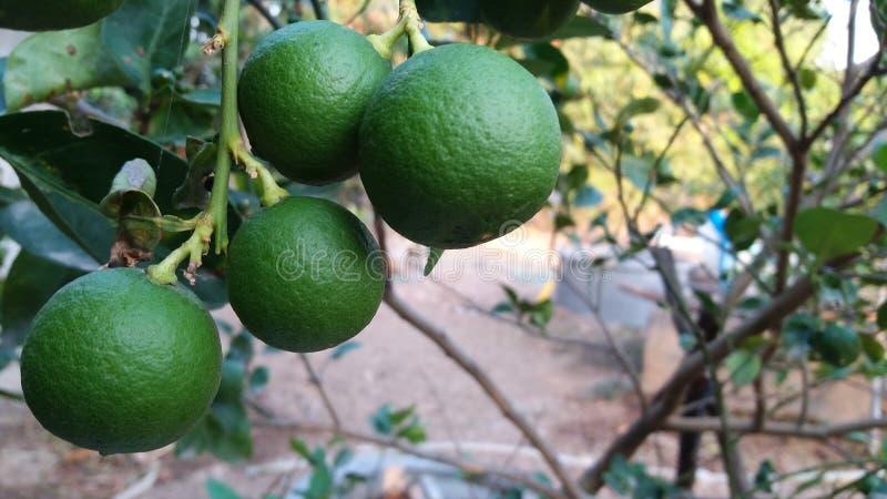 Sinônimo aurantifolia do Rutaceae do Swingle do citrino fotografia de stock