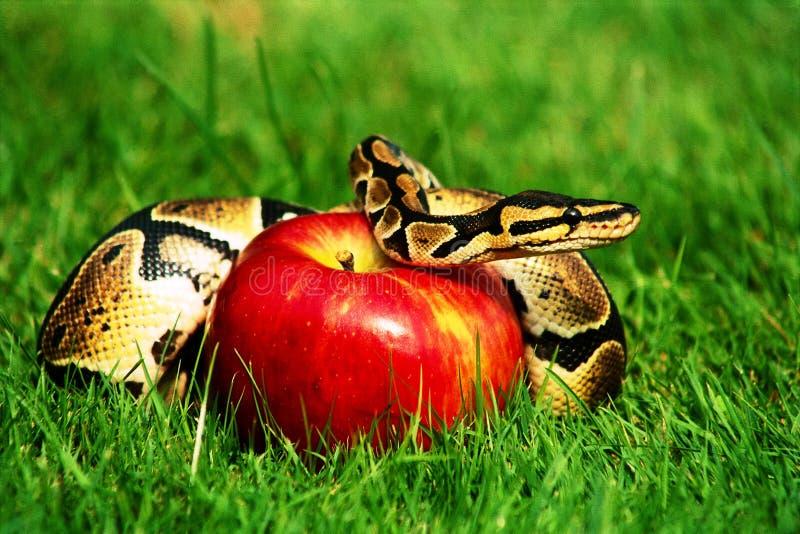 Sin snake apple royalty free stock photos