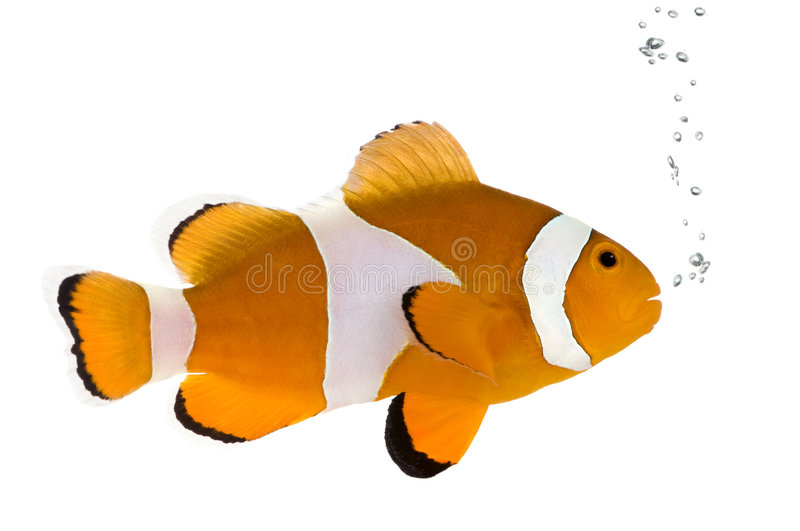 Sinaasappel clownfish - occelaris Amphiprion royalty-vrije stock afbeelding