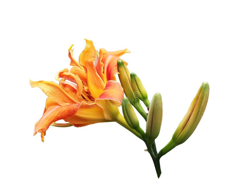 Sinaasappel daylily stock afbeeldingen