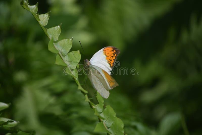 Sinaasappel Getipte Vlinder die op een Installatiestam beklimmen royalty-vrije stock fotografie