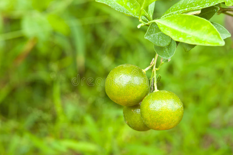 Sinaasappel op boom stock fotografie