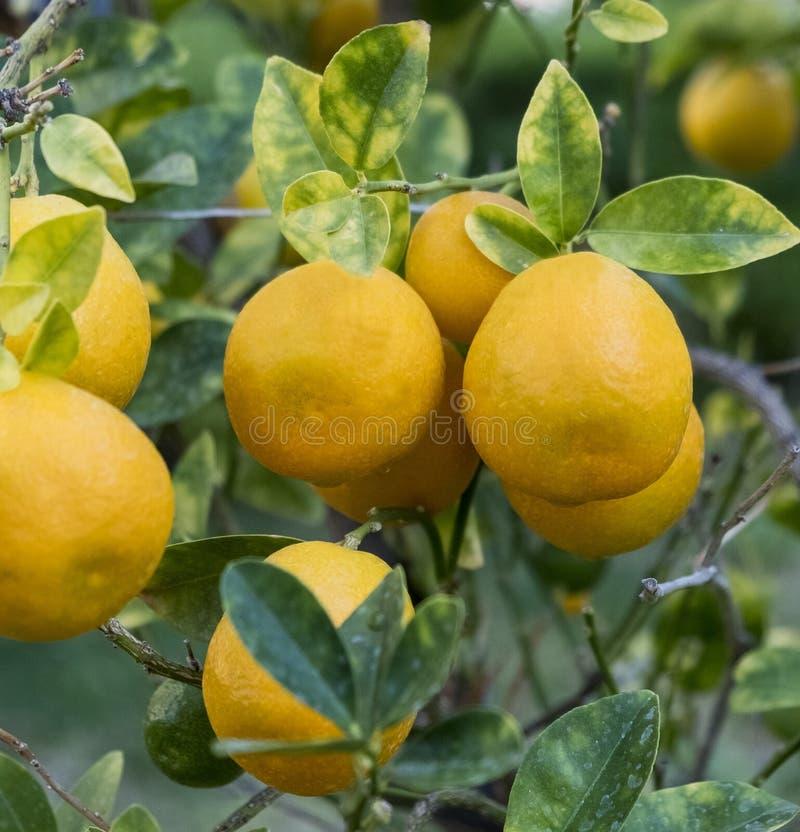 Sinaasappelen die op een boomtak hangen in een stadstuin royalty-vrije stock fotografie